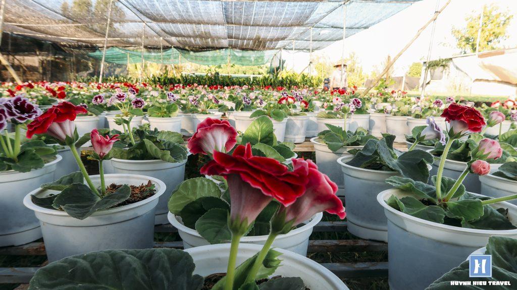 Hàng trăm chậu hoa tình yêu Làng hoa Sa Đéc